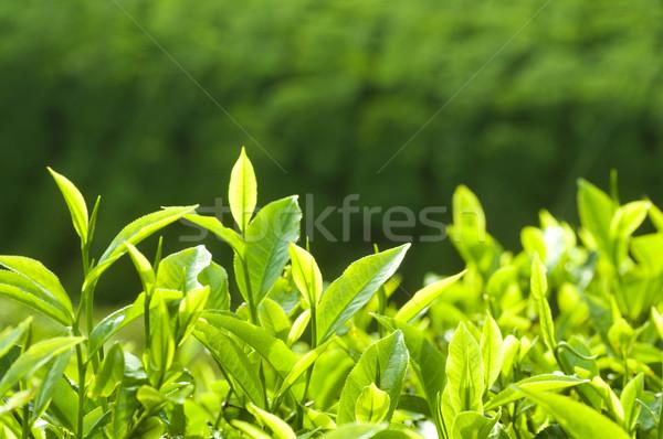 Tè foglie fresche mattina luce del sole Foto d'archivio © szefei
