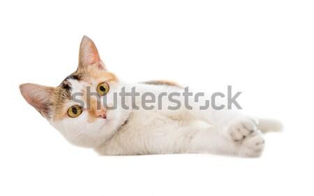 Malaysian short haired cat lying Stock photo © szefei
