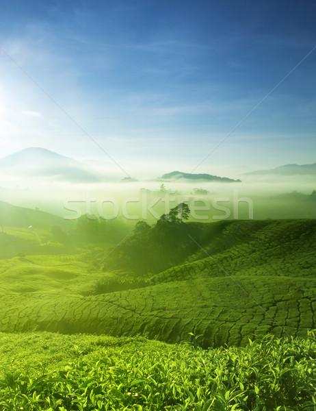 Tea farm tájkép természet fény levél Stock fotó © szefei