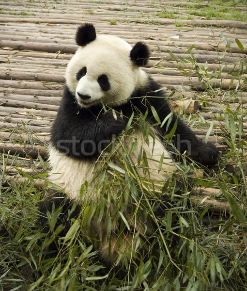 panda feeding  Stock photo © szefei