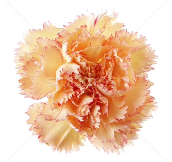 Oro clavel flor cabeza aislado blanco Foto stock © szefei