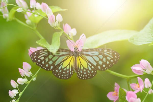 Borboleta amarelo vítreo tigre Foto stock © szefei