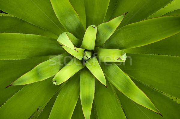 Agavé növény közelkép kép kert szín Stock fotó © szefei