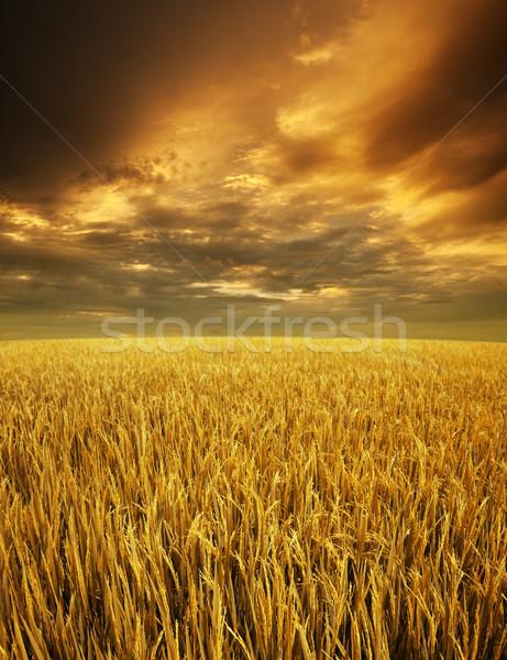 Golden paddy fields landscape Stock photo © szefei