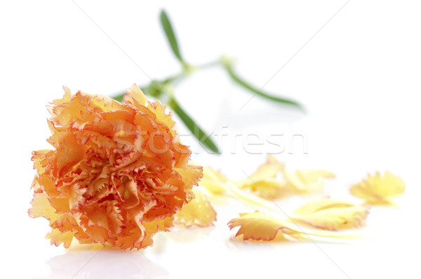 Clavel pétalo naranja blanco textura hoja Foto stock © szefei