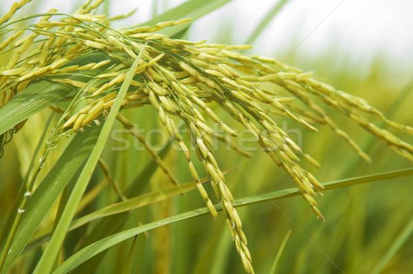 Paddy rice.  Stock photo © szefei