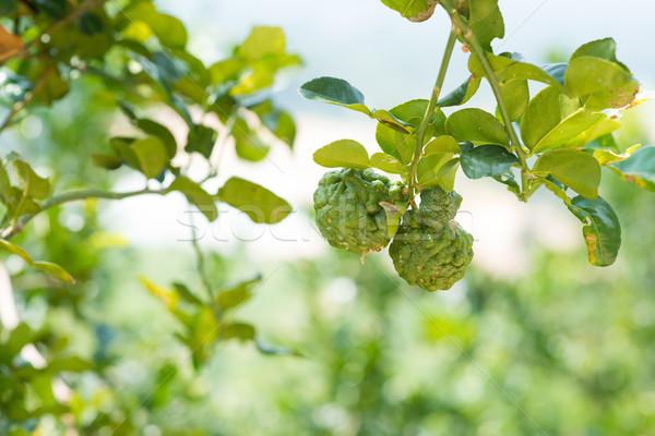 kaffir lime tree Stock photo © szefei