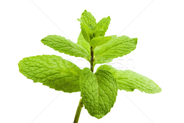 Green Mint  Stock photo © szefei