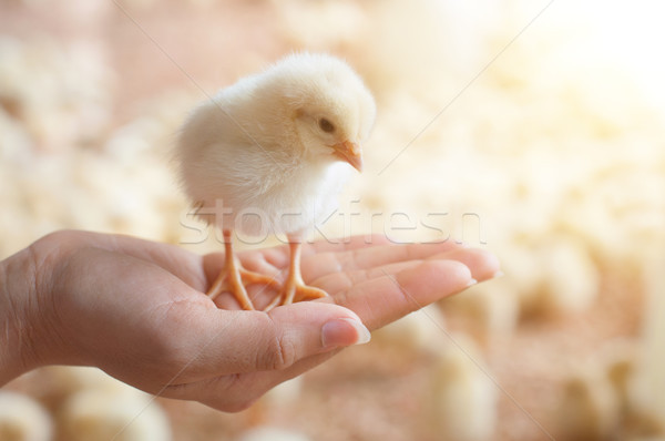Caring for a small chicken Stock photo © szefei
