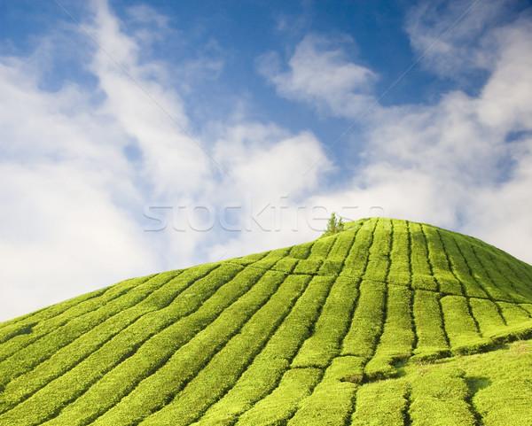 Chá plantação paisagem terra montanha verão Foto stock © szefei