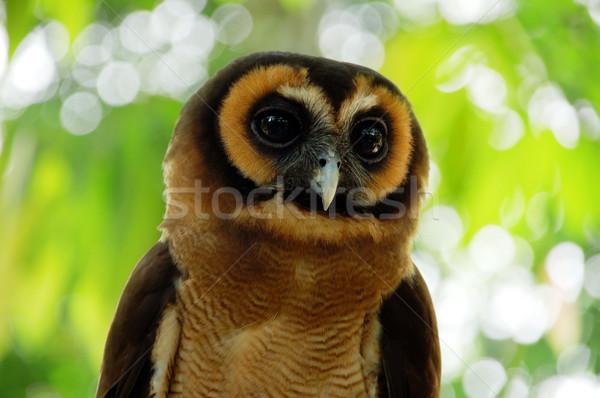 Owl Stock photo © szefei
