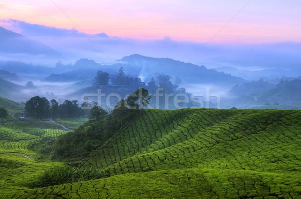 Chá plantação Malásia cedo nascer do sol fazenda Foto stock © szefei