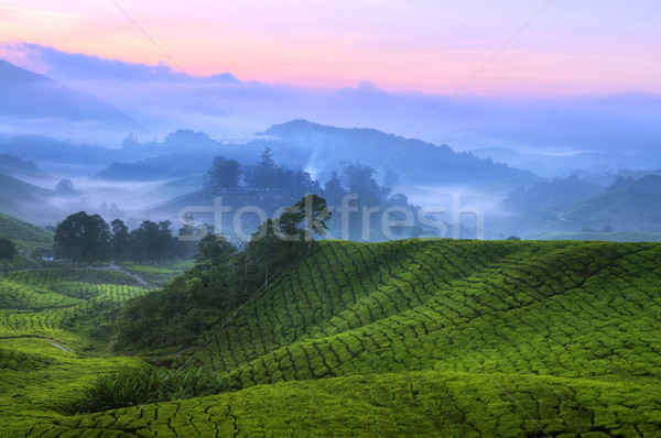 Tea Plantation Malaysia Stock photo © szefei