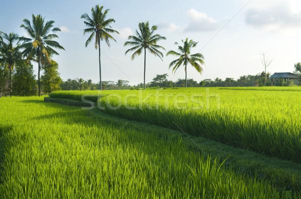 Rice terraces Stock photo © szefei