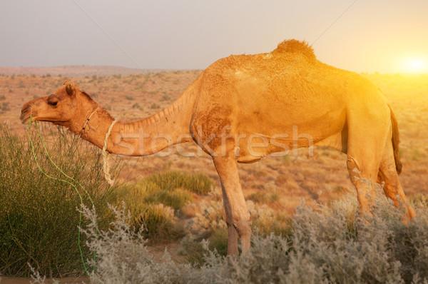 верблюда еды завода пустыне Индия небе Сток-фото © szefei