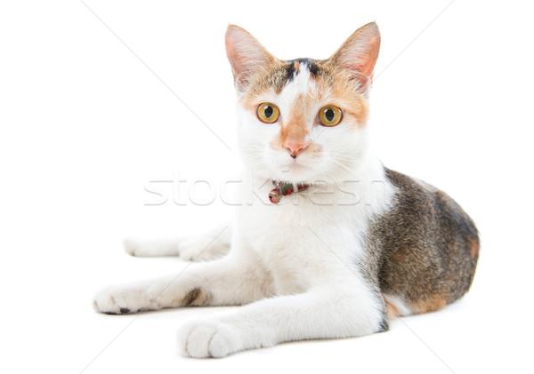 Portrait Malaysian short haired cat  Stock photo © szefei