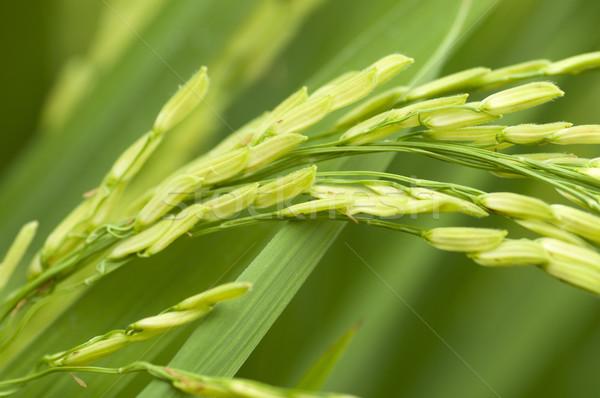 Paddy rice  Stock photo © szefei