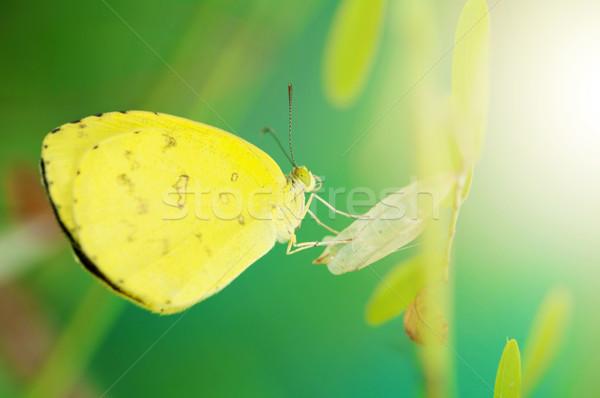 Jaune papillon papillons Afrique herbe Photo stock © szefei