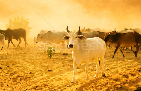 Herd cattle Stock photo © szefei