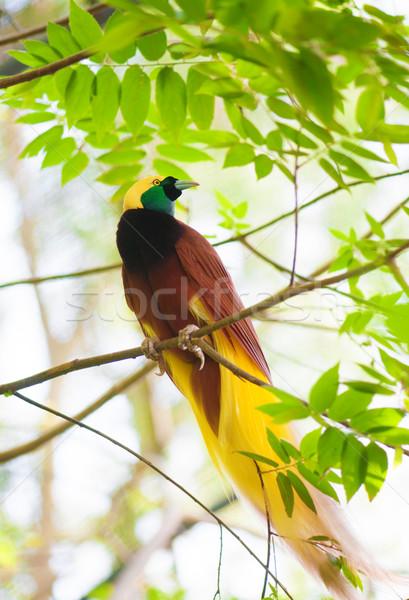 Bird of Paradise on a tree Stock photo © szefei