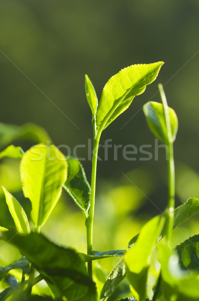 Tea Leaves Stock photo © szefei
