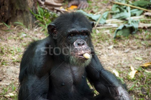 Chimpansee eten banaan portret dierentuin gezicht Stockfoto © szefei