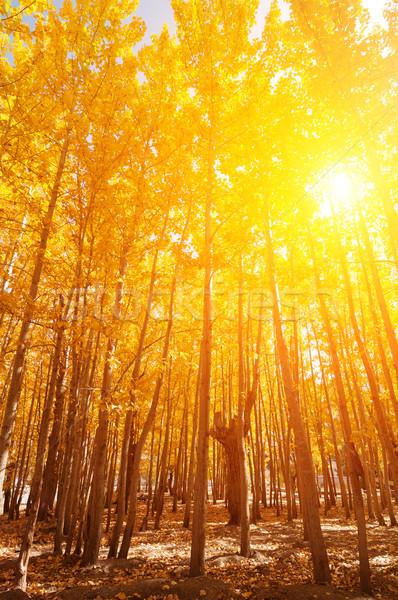 Aspen Trees in fall seasons Stock photo © szefei