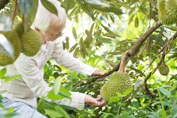 Orchard owner and durian tree. Stock photo © szefei