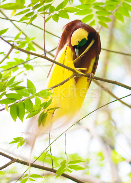 Bird of Paradise is cleaning feathers Stock photo © szefei