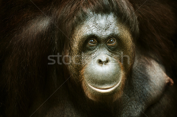 Orang utan portrait Stock photo © szefei