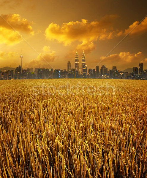 Kuala Lumpur city skyline and paddy field Stock photo © szefei