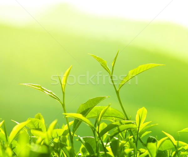 Chá folha manhã dourado luz solar árvore Foto stock © szefei