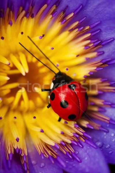Ladybug and waterlily Stock photo © szefei