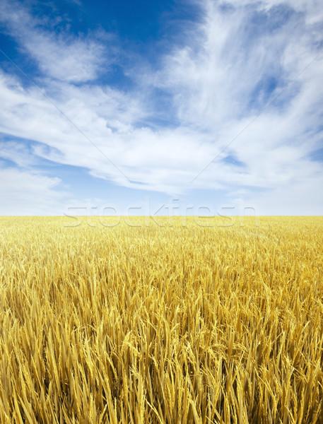 Paddy rice field. Stock photo © szefei