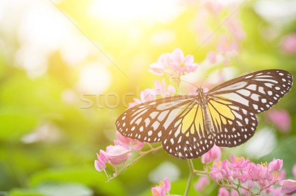 Yellow Glassy Tiger butterfly Stock photo © szefei