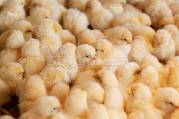 Chicken farm, agriculture Stock photo © szefei