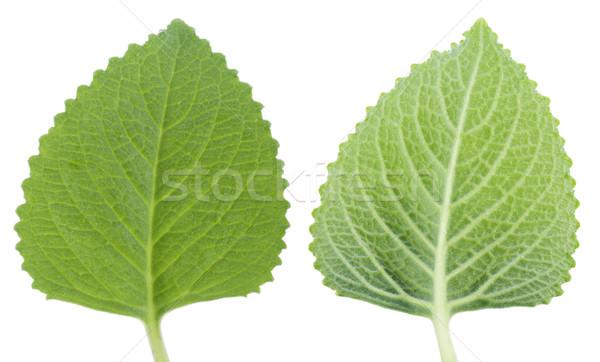 Verde de isolado macro fresco folha Foto stock © szefei