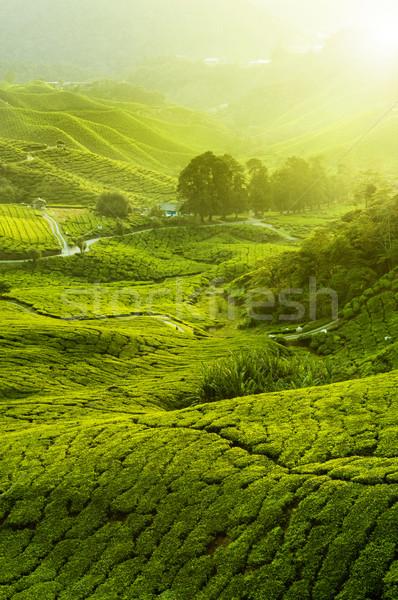 çay dağlık Malezya gündoğumu sis Stok fotoğraf © szefei