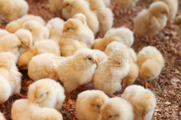 Large group of newly hatched chicks Stock photo © szefei