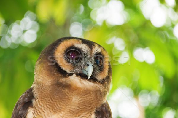Brown wood owl  Stock photo © szefei