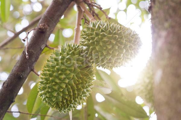 Musang king durian tree  Stock photo © szefei