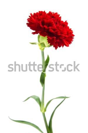 Red Carnation Stock photo © szefei