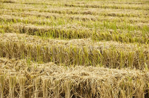 Aratás kilátás aszalt rizsföld természet vidék Stock fotó © szefei