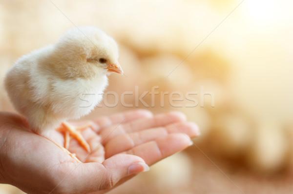 Baby chick schließen Ansicht Mädchen Stock foto © szefei