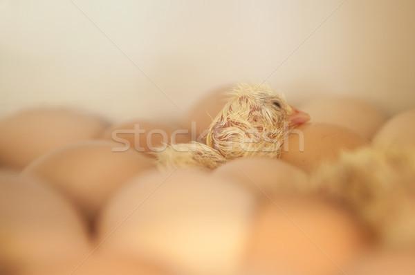 Newborn baby chick Stock photo © szefei
