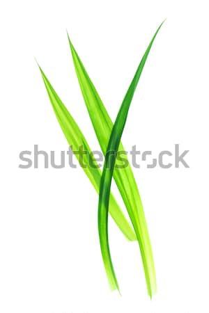 Pozostawia świeże odizolowany biały pachnący dłoni Zdjęcia stock © szefei