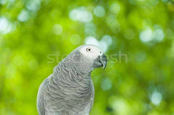 африканских серый Parrot портрет природного зеленый Сток-фото © szefei