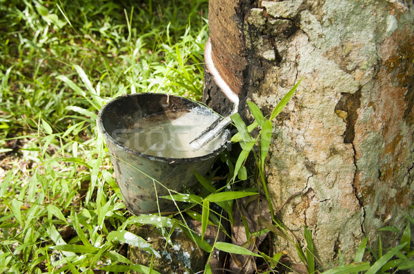 Rubber flows from the tree. Stock photo © szefei