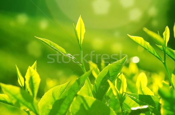 Té hojas té verde manana llamarada Foto stock © szefei