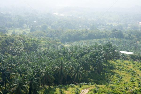 Palm oil plant Stock photo © szefei
